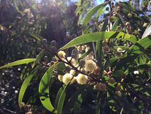 El acacia confunde el árbol que florece en el barranco de Waimea en la isla de Kauai, Hawaii Imagen de archivo libre de regalías