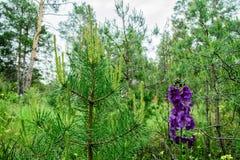El acampar en el bosque del pino en la primavera Imágenes de archivo libres de regalías