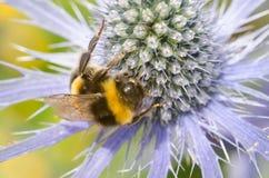 El acebo de mar con grande manosea cierre de la abeja para arriba Imagen de archivo