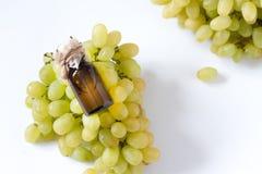 El aceite de semillas curativo de las uvas en un tarro de cristal, uvas frescas en el fondo blanco, extracto de la semilla tiene  Imagenes de archivo