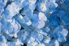 El aceite pintó las flores azules de la hortensia imágenes de archivo libres de regalías