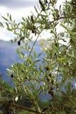El aceituna-árbol Fotografía de archivo