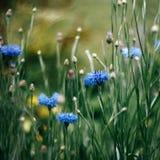 El aciano brillante, centaurea, moscarda, solteros abotona, el bluet, centaury en fondo amarillo verde de la hierba borrosa con e foto de archivo