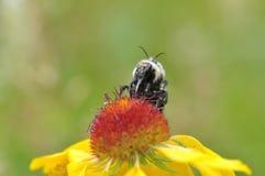 El acoplamiento manosea abejas Fotografía de archivo