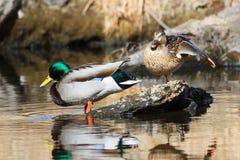 El acoplamiento se empareja de patos silvestres en una corriente foto de archivo libre de regalías
