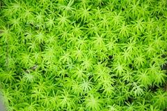 El acre del sedum de Goldmoss o de Sedum de la uva de gato de los goldmoss, hojea las plantas florecientes suculentas con el fond imagen de archivo