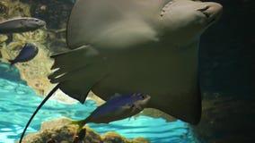 El acuario, los pescados grandes nada en el tanque subacuático entre pequeños pescados almacen de video