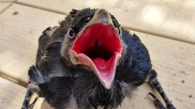 El acurrucarse de los cuervos quiere comer fotos de archivo
