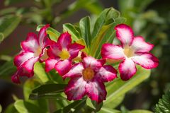 El Adenium que está floreciendo el rosa es el nombre de una planta colorida de flores hermosas foto de archivo
