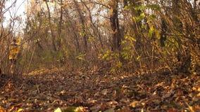 El adolescente camina en un parque del otoño con el perro derramado con las hojas de otoño marrones el perro empuja la lente de l almacen de metraje de vídeo
