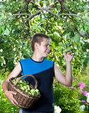 El adolescente con una cesta de manzanas en un jardín rompe la manzana de una rama. Retrato en un día soleado Fotos de archivo