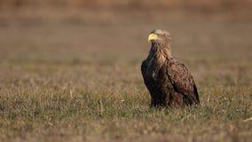 El adulto blanco-ató el águila, albicilla del halitaeetus, sentándose en el ambiente natural almacen de video
