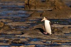 El adulto NZ Amarillo-eyed el pingüino u Hoiho en orilla fotos de archivo libres de regalías