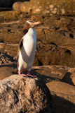El adulto NZ Amarillo-eyed el pingüino u Hoiho en orilla foto de archivo