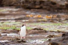 El adulto NZ Amarillo-eyed el pingüino u Hoiho en orilla Foto de archivo libre de regalías