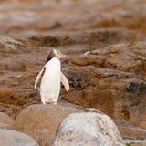 El adulto NZ Amarillo-eyed el pingüino u Hoiho en orilla imagenes de archivo
