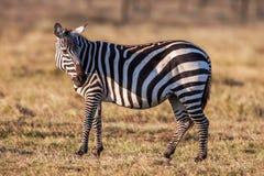 El africano aclara la cebra en los prados marrones secos de la sabana que hojea y que pasta imagenes de archivo