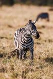 El africano aclara la cebra en los prados marrones secos de la sabana que hojea y que pasta fotos de archivo