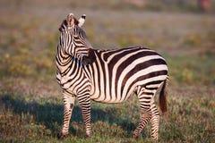 El africano aclara la cebra en los prados marrones secos de la sabana que hojea y que pasta fotos de archivo libres de regalías