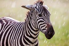 El africano aclara la cebra en los prados marrones secos de la sabana que hojea y que pasta imagen de archivo libre de regalías