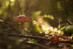 El agárico rojo del bosque que crece en hierba, seca las hojas Imagen de archivo libre de regalías
