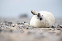 El agitar de la cría de foca Fotos de archivo libres de regalías
