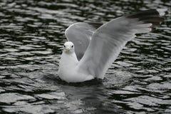 El agitar de la gaviota del hielo Imagenes de archivo
