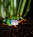 El agitar de la rana de árbol Foto de archivo