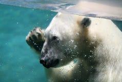 El agitar del oso polar Fotografía de archivo libre de regalías