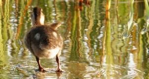 El agitar del pato Fotos de archivo