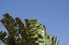 El agitar oscilante del movimiento de la hoja del plátano avivó por los fuertes vientos Imagen de archivo
