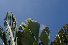 El agitar oscilante del movimiento de la hoja del plátano avivó por los fuertes vientos debajo Imagenes de archivo