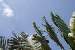 El agitar oscilante del movimiento de la hoja del plátano avivó por los fuertes vientos debajo Fotografía de archivo