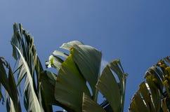 El agitar oscilante del movimiento de la hoja del plátano avivó por los fuertes vientos debajo Fotografía de archivo libre de regalías