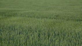 El agitar verde del campo de trigo almacen de video