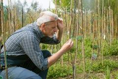 El agrónomo adulto examina los almácigos genético que modifican las plantas En los vidrios, una barba, guardapolvos que llevan foto de archivo libre de regalías