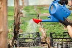 El agrónomo crece almácigos en los tomates del invernadero foto de archivo libre de regalías
