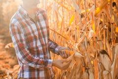 El agrónomo joven comprueba la madurez de la cosecha del maíz fotografía de archivo libre de regalías