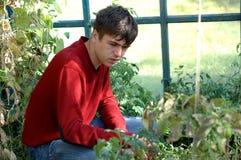 El agrónomo mira el estado de tomates verdes Imagen de archivo libre de regalías
