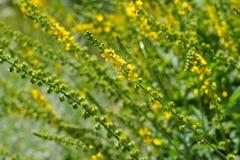 El agrimony herbario del campo común de la planta Imagen de archivo