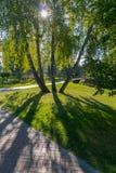 El agrupar de cuatro árboles de abedul en un parque a través del cual la luz del sol brilla en hierba verde Imagenes de archivo