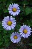 El agrupar de cuatro flores alpinas del aster foto de archivo