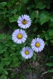 El agrupar de cuatro flores alpinas del aster con una abeja Fotografía de archivo