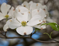 El agrupar de las flores blancas del cornejo Imagenes de archivo