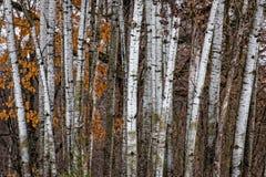 El agrupar de los árboles de abedul Imagenes de archivo