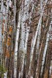 El agrupar de los árboles de abedul Foto de archivo libre de regalías