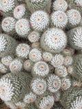 El agrupar del acerico o del cactus del Mammillaria foto de archivo libre de regalías