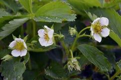 El agua blanca floreciente del verano del pétalo del jardín de la flora de la floración de la agricultura del primer macro salvaj Fotografía de archivo