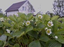 El agua blanca floreciente del verano del pétalo del jardín de la flora de la floración de la agricultura del primer macro salvaj Imagen de archivo