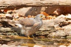 El agua de la bebida del halcón Fotografía de archivo